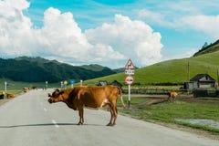 Koeien op de weg op een Zonnige dag stock afbeeldingen