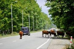 Koeien op de weg in Georgië Royalty-vrije Stock Afbeeldingen