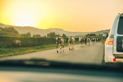 Koeien op de weg op zonsondergang Royalty-vrije Stock Fotografie