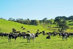 Koeien op de weide Stock Afbeeldingen