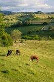 Koeien op de weide Royalty-vrije Stock Afbeeldingen