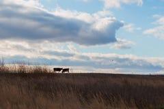 Koeien op de weide in de herfst Stock Foto