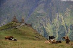 Koeien op de weide dichtbij Tsminda Sameba/Heilige Drievuldigheidskerk Ka Stock Foto's