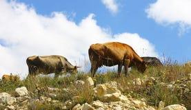 Koeien op de weide van de thszomer tegen blauwe hemel Stock Fotografie