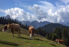 Koeien op een bergweiland stock afbeelding
