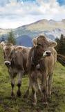Koeien op een bergweiland Stock Afbeeldingen