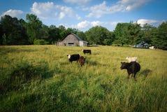 Koeien op een gebied stock foto's