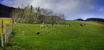 Koeien op een gebied Stock Afbeeldingen