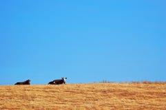 Koeien op een Gebied Stock Foto