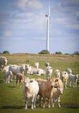 Koeien op een gebied. stock foto