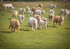 Koeien op een gebied. stock afbeeldingen