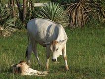 Koeien op een gebied, Thailand. Royalty-vrije Stock Afbeelding