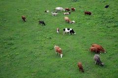 Koeien op een gras Royalty-vrije Stock Foto's
