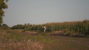Koeien op een groen gebied Weiland van vee stock footage