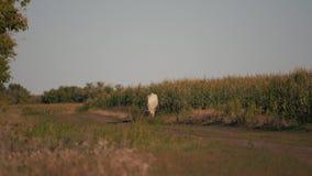 Koeien op een groen gebied Weiland van vee stock videobeelden
