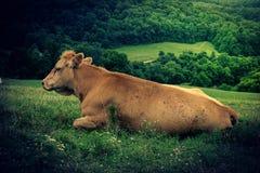 Koeien op een heuvel Stock Afbeeldingen