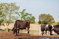 Koeien op een landbouwbedrijf Royalty-vrije Stock Fotografie