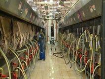 Koeien op een melkveehouderij stock footage