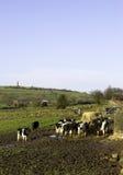 Koeien op een Melkveehouderij Stock Fotografie