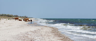 Koeien op een strand Stock Afbeeldingen
