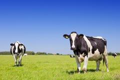 Koeien op een vers grasrijk gebied op een duidelijke dag Stock Foto's