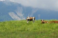 Koeien op een weide Royalty-vrije Stock Afbeelding