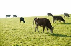 Koeien op een weide Stock Afbeeldingen