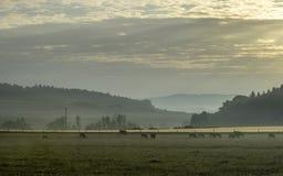 Koeien op een weide bij zonsopgang Stock Afbeeldingen