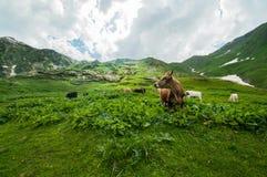 Koeien op een weiland in de bergen. Stock Foto's