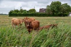 Koeien op een weiland in Duitsland stock afbeeldingen