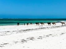 Koeien op een wit zandig strand Stock Afbeelding