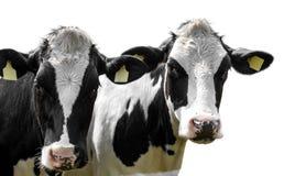 Koeien op een witte achtergrond worden geïsoleerd die stock afbeelding