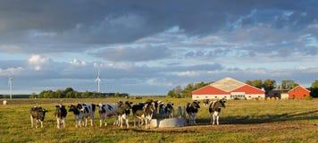 Koeien op een Zweeds landbouwbedrijf Stock Afbeeldingen