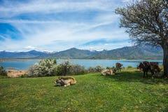 Koeien op eiland van St Ahileos bij Meer Prespa, Griekenland royalty-vrije stock fotografie
