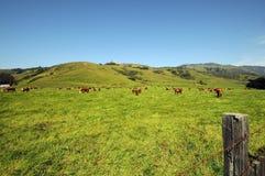 Koeien op gebied Royalty-vrije Stock Afbeeldingen