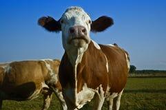 Koeien op gebied royalty-vrije stock fotografie