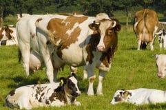 Koeien op gebied Stock Foto's