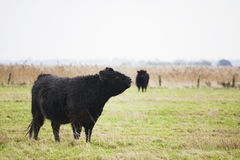 Koeien op gebied Stock Afbeeldingen