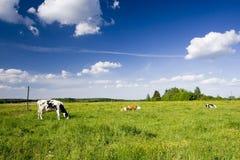 Koeien op gebied Royalty-vrije Stock Afbeelding