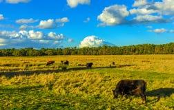 Koeien op gebied 2 stock afbeeldingen