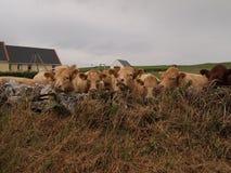 Koeien op gebied met schuur Stock Afbeeldingen