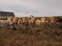 Koeien op gebied met schuur Royalty-vrije Stock Afbeelding