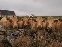 Koeien op gebied met schuur Royalty-vrije Stock Foto's