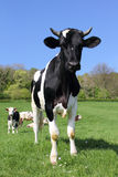 Koeien op groen gebied Stock Foto's