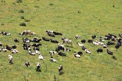 Koeien op groen gebied Stock Afbeeldingen