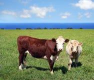 Koeien op groen gras royalty-vrije stock afbeeldingen