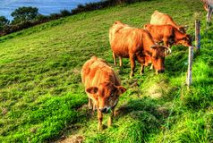 Koeien op groen grasgebied Asturias - Spanje royalty-vrije stock afbeeldingen