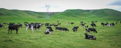 Koeien op groene heuvel Stock Afbeelding