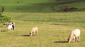 Koeien op groene heuvelscène Royalty-vrije Stock Fotografie
