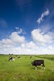 Koeien op groene weide Royalty-vrije Stock Foto